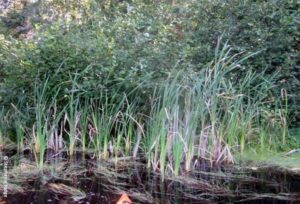 Invasive Cattails on the Brule: Non-Native Narrow-Leaved